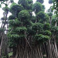 榕树桩(造型榕、榕树盆景)