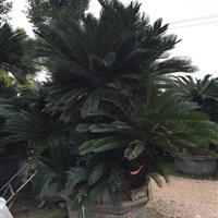 多头苏铁(铁树桩、铁树盆景)