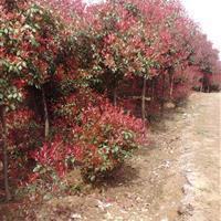 南京红叶石楠球/高杆红叶石楠
