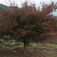 浙江地区供应鸡爪槭3~18cm