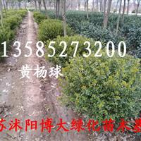 80公分冠瓜子黄杨球价格//1米-1.2米冠瓜子黄杨球价格新