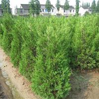 江蘇地區供應1米檜柏30萬棵
