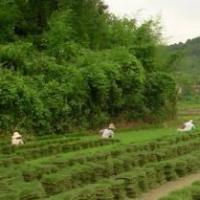 安徽草坪,马尼拉草坪基地,马尼拉草皮价格