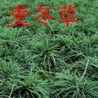 2016年滁州低价促销麦冬草,细叶麦冬草快乐赛车开奖
