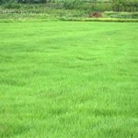 供应百慕达、狗牙根、三叶草、百喜草、弯叶画眉草