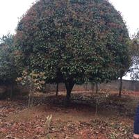 最新湖南桂花树价格米径6-12公分桂花树价格