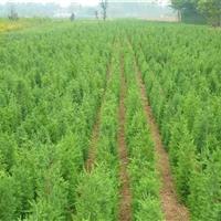 供應江蘇地區1米高檜柏40萬棵,自己苗圃價格低