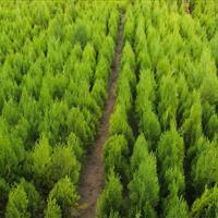 供应江苏地区60公分洒金柏,自己苗圃苗价格超低
