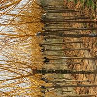 供应江苏地区黄金槐2-5公分10万棵,自己苗圃苗价格超低
