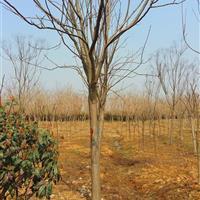 安徽地区供应1-20栾树