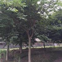 浙江地区供应各规格榉树