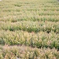 红豆杉小苗30-50高度南方红豆杉