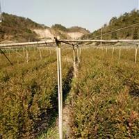 南方红豆杉小苗80-100高度