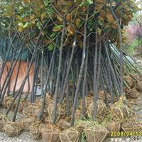 江蘇地區供應廣玉蘭自己苗圃苗價格低