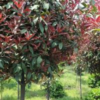 江苏地区高杆红叶石楠树2-10公分