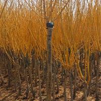 江苏地区黄金槐4公分12万棵