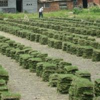 大量供应马尼拉草