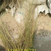 灯心草价格,全国供应优质灯心草、水葱