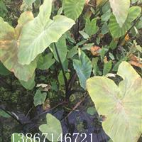 紫芋头水生植物浙江紫芋