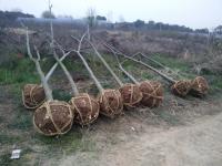 大量精品栾树精品7-8-9公分发货