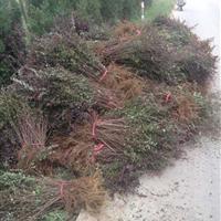 红叶小檗江苏地区,红叶小檗工程苗价格,红叶小檗基地,
