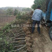 肥西大量桂花供应商。桂花3-4公分真心低价供应商