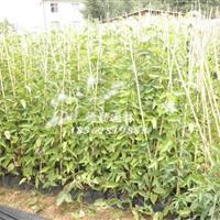 基地批发油麻藤小苗价 四季常青爬藤攀援植物供应各种绿化苗木
