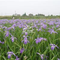 基地批发西伯利亚鸢尾 耐寒鸢尾 水生鸢尾苗圃基地价格绿化苗木