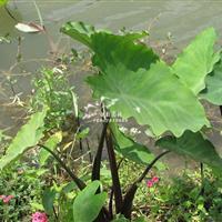 基地供应紫芋苗 水生植物 供应各种绿化曾道人心水论坛 苗圃欢迎来电咨询