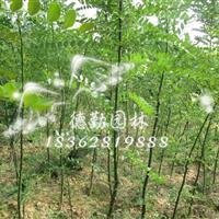 供应国槐树苗 速生国槐小苗 苗圃基地批发价格造林防雾霾树种