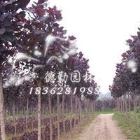 供应中华红叶杨树苗 红叶杨小苗红叶杨苗圃全红杨树苗彩色树
