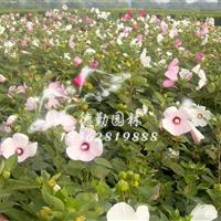 供应大花秋葵 各种宿根地被规格齐全批发各种绿化苗木 量大从