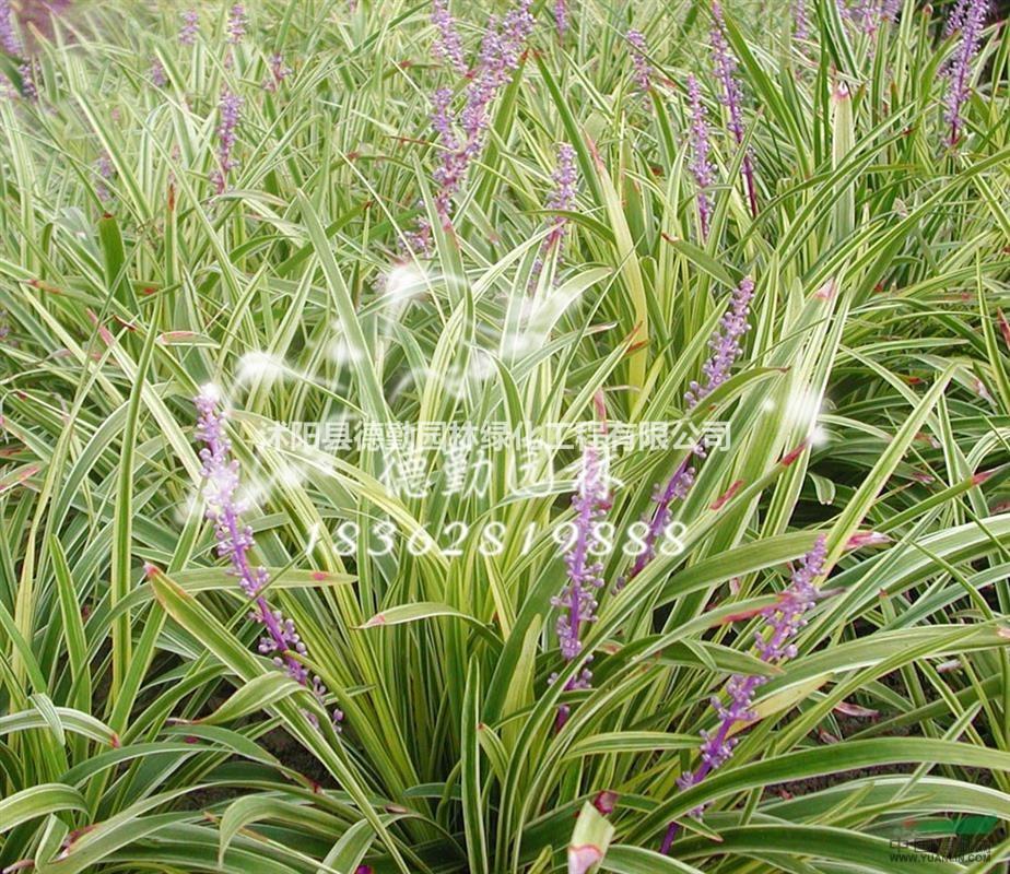 供应麦冬草 沿阶草 金边麦冬草矮化麦冬草苗圃基地价格批发苗木