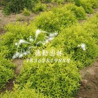 供应金叶莸 精品绿篱地被植物 彩色树种 小区别墅学校绿化苗