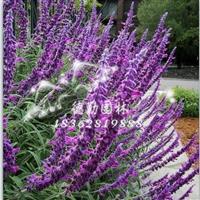 供应鼠尾草 批发各种草花 地被植物 别墅庭院高档精品名贵植物