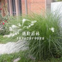 供應細葉芒 花葉芒 各種草花地被植物批發各種綠化苗木量大