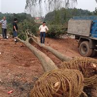 乐山辜氏花木长期大量供应质量标准的栾树,大叶女贞欢迎来电咨询