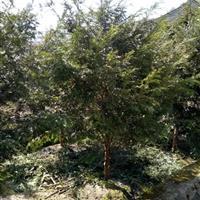 红豆杉 南方红豆杉  红豆杉价格 精品红豆杉