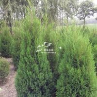 供应蜀桧小苗塔柏圆柏桧柏工程苗1-5米高批发各种绿化苗苗