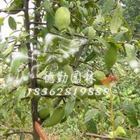 基地供应木瓜 木瓜小苗 食用木瓜皱皮木瓜海棠批发各种绿化苗木