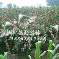 供应木槿花苗 木槿小苗 丛生独杆红花木槿玫瑰木槿苗批发绿化苗