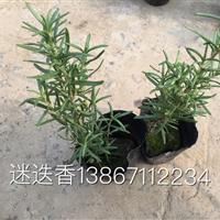 大量供应盆栽迷迭香