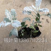 大量供应盆栽银叶菊