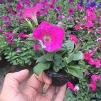 时令花卉矮牵牛   草花   宿根植物