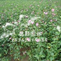 供应木槿床苗 木槿小苗 木槿苗圃种植苗