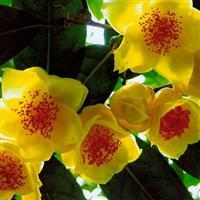 中国传统名花 世界名花  世界园林园艺界之珍品 四季金花茶