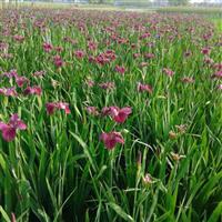 杭州萧山苗圃供应大量优质鸢尾,自产自销,量大优惠。