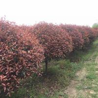 江苏红叶石楠,红叶石楠球,独杆红叶石楠,红叶石楠柱