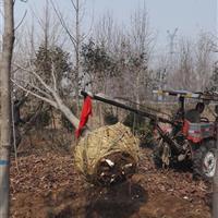 供应江苏红榉树2-15公分,江苏红榉树基地