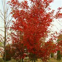 娜塔栎哪里有?娜塔栎价格 娜塔栎小苗批发 柳栎新品种